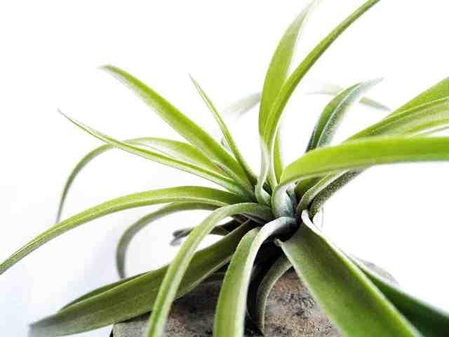 La Tillandsia è una pianta della famiglia delle Bromeliacee e la sua particolarità è quella di vivere bene anche senza terreno