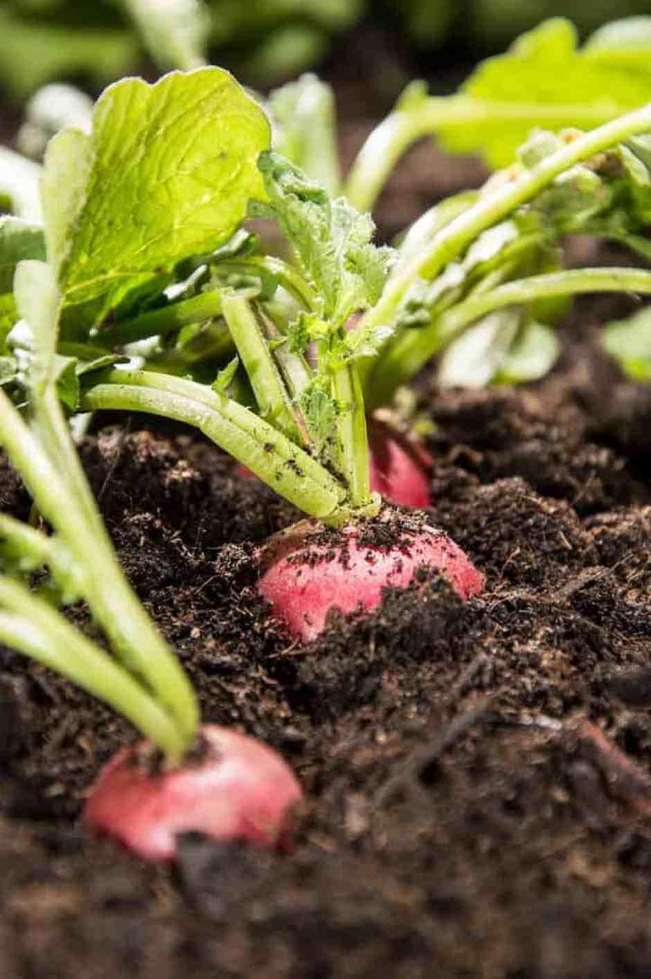 I ravanelli sono ortaggi noti per adattarsi molto bene negli ambienti chiusi. Questo ortaggio non avrà bisogno di grandi quantità di luce, ma avrà bisogno di un contenitore abbastanza profondo per contenere i bulbi in crescita