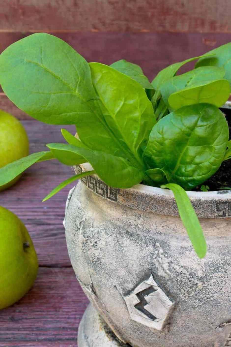 Le verdure a foglia verde, e quindi anche gli spinaci, possono essere coltivati bene al chiuso per tutto l'anno. Il segreto è un buon drenaggio