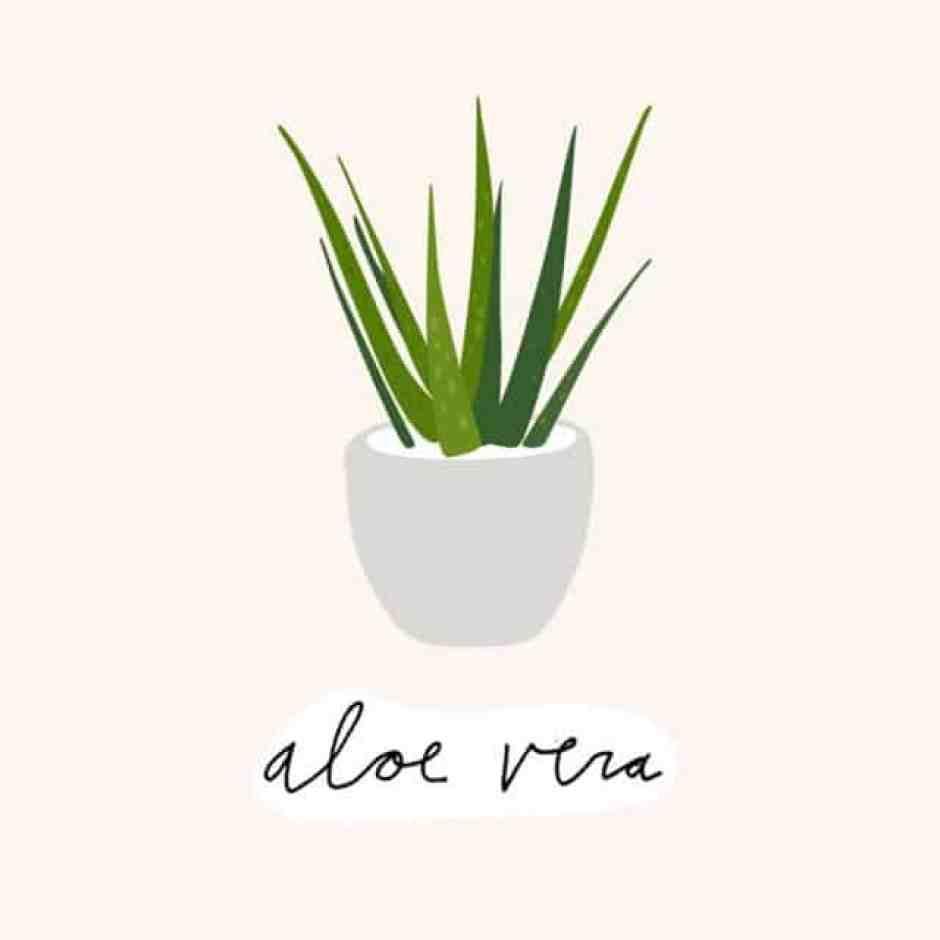 Aloe vera, bella da vedere e dalle proprietà benefiche