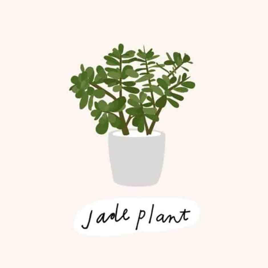 Albero di Giada, una pianta che ha bisogno di molto sole