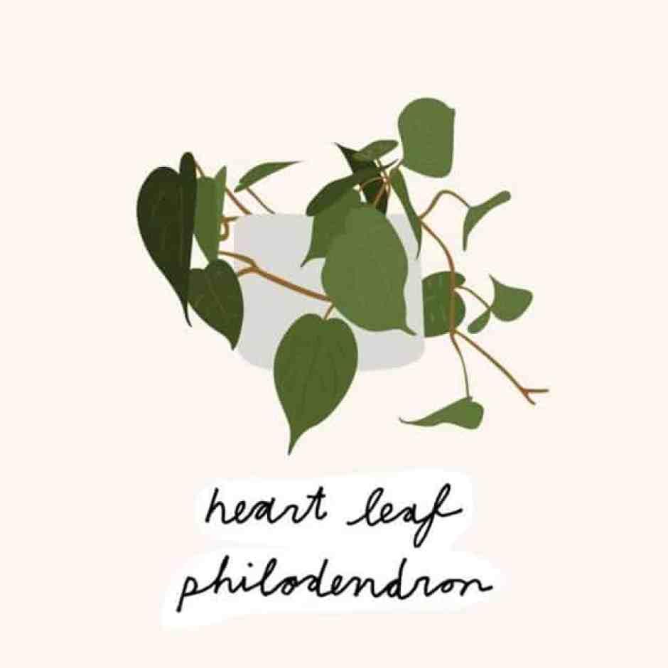 Filodendro, altrimenti conosciuta anche come la pianta degli innamorati