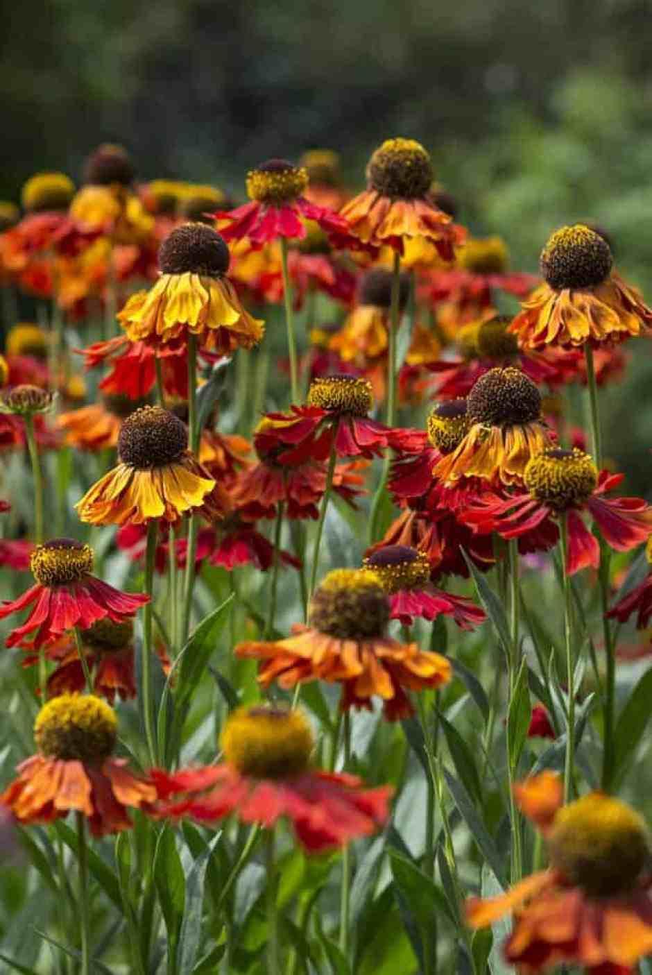 Helenium, fiori autunnali tipici della campagna