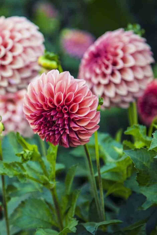 Dalia, un fiore elegante e delicato