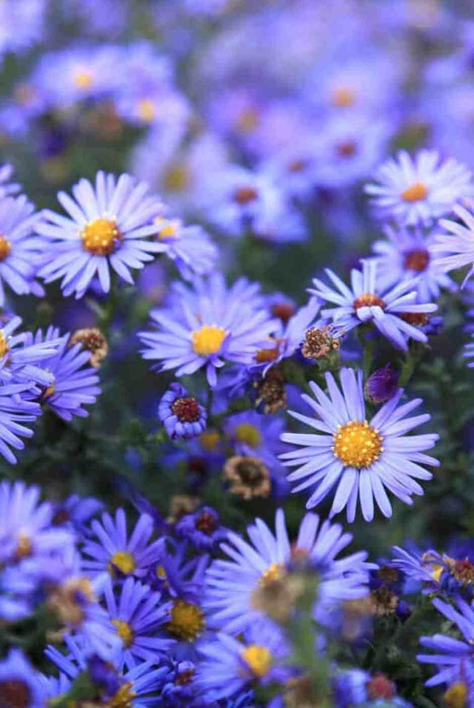 Astro, un bellissimo fiore dai toni blu