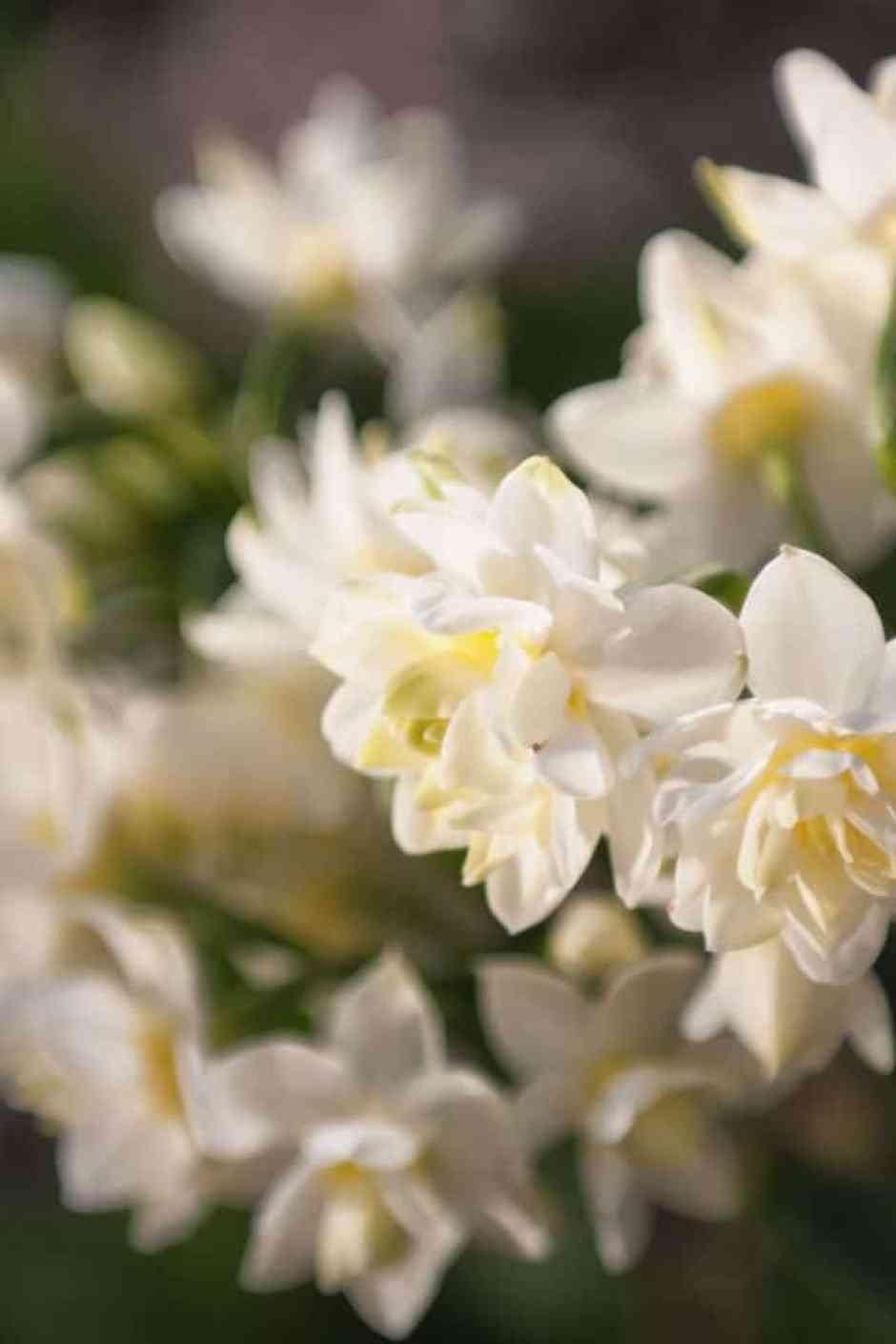 Narciso, fiore delicato e molto natalizio