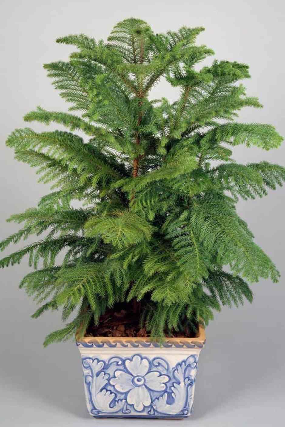 Pino del Norfolk, pianta di lunga durata è originaria delle zone del Pacifico