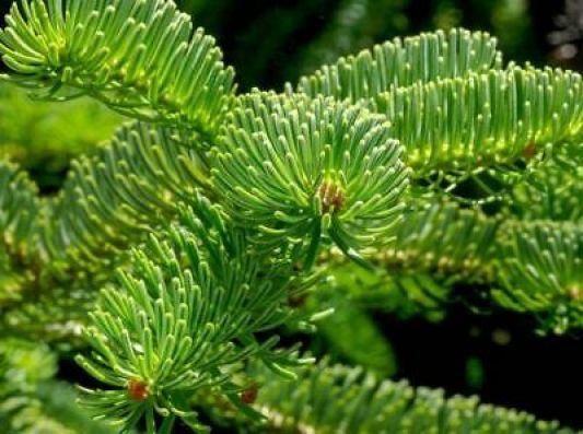 Abete del Caucaso, un albero maestoso e di grande impatto estetico che ha il vantaggio di non perdere quasi per nulla gli aghi