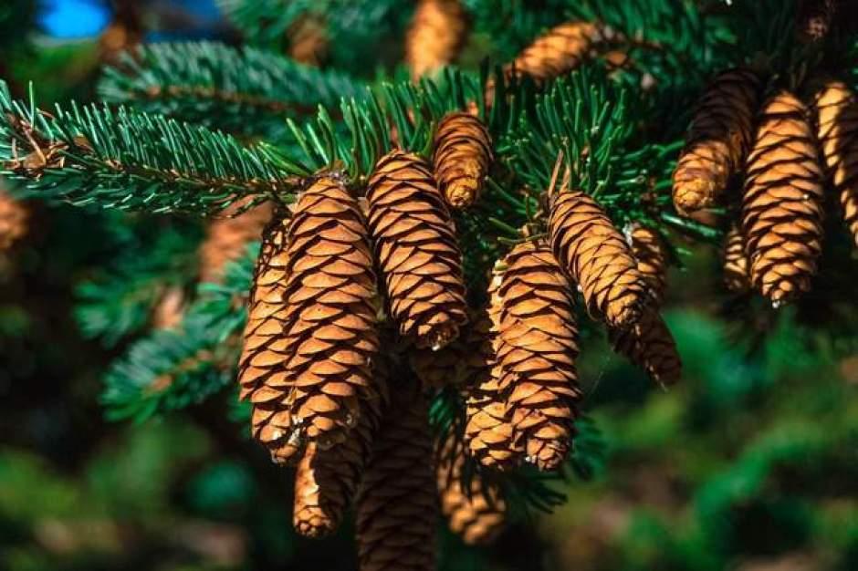 Pigne, i frutti degli alberi sempreverdi