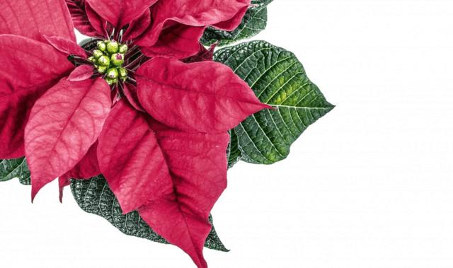 Foto Stella Di Natale.Christmas Challenge Come Non Uccidere La Stella Di Natale Guida Giardino