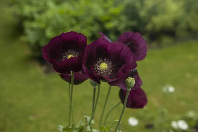 Un esemplare di pianta annuale: fiorisce, produce i semi e muore in un'unica stagione di crescita.
