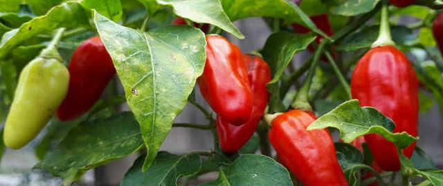 Peperoni rossi e verdi coltivati in vaso.