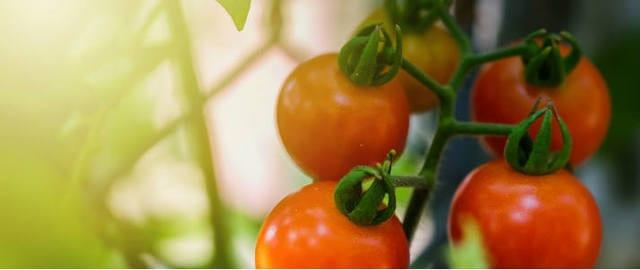 Pomodori coltivati in vaso.