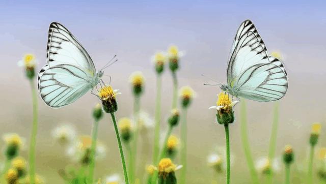 Bellissime farfalle che si posano sui fiori.