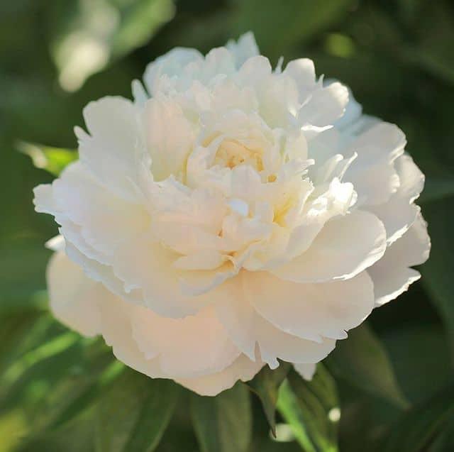 Peonia bianca, un fiore delicato ed elegante.