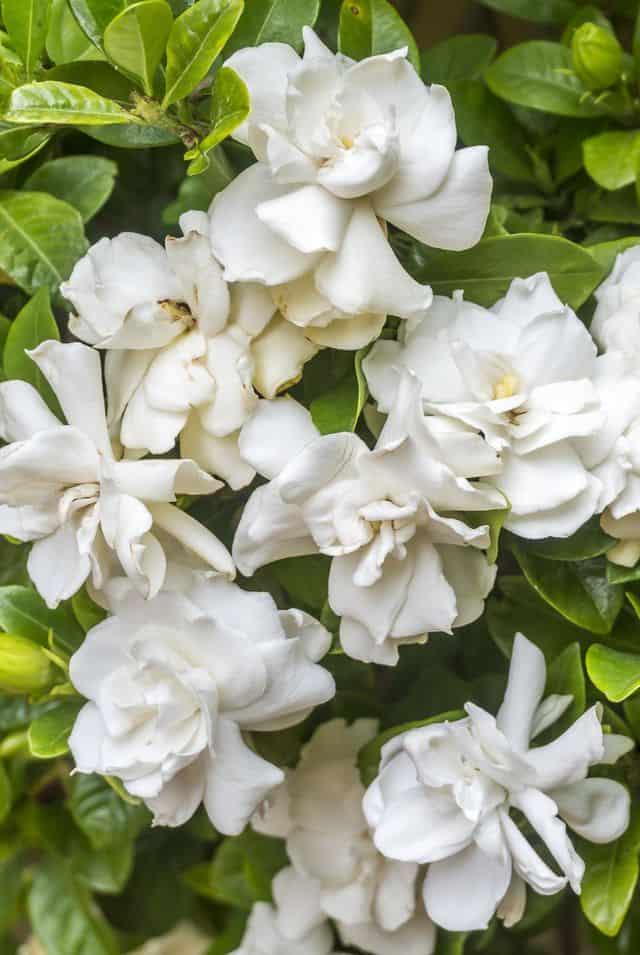 Gardenia, un fiore profumato che fiorisce dalla tarda primavera all'estate.