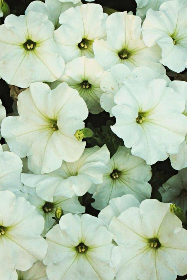 Petunia, fiori eleganti e delicati che hanno bisogno di molto sole.