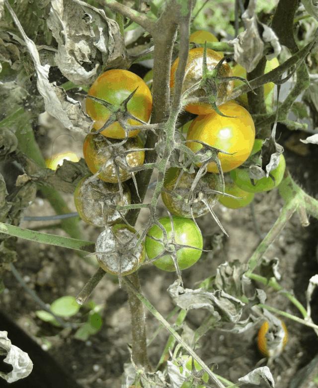 Una pianta di pomodoro attaccata da parassiti che hanno compromesso i suoi frutti e la salute delle foglie.
