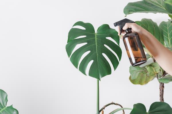 idratare e pulire le foglie delle piante d'appartamento