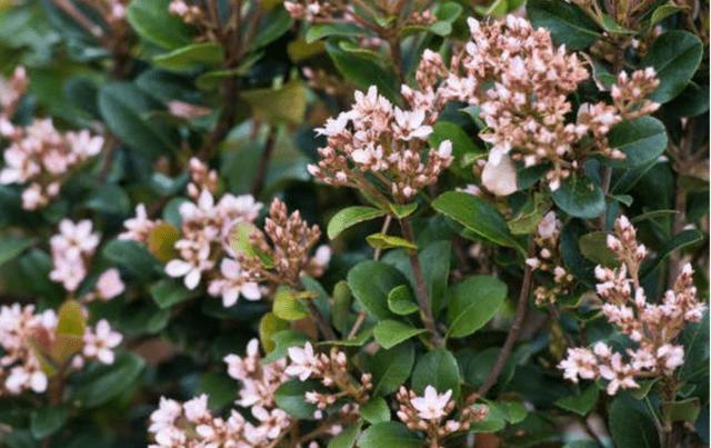 Il Biancospino indiano è un piccolo arbusto sempreverde a crescita lenta che cresce bene anche senza potatura