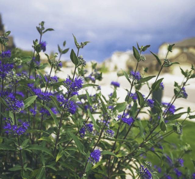 la Blue Mist Spirea  si adatta bene in pieno sole o a mezz'ombra, regala fiori blu in estate e ha bisogno di poco più di una potatura stagionale per mantenersi forte