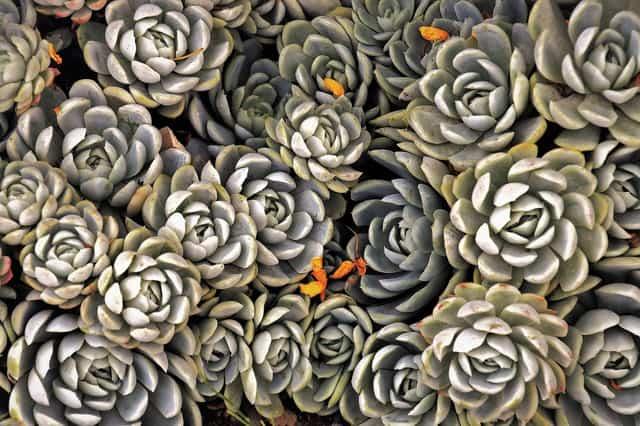 le pigne, se collocate sul fondo del vaso delle piante grasse, aiutano a prevenire i ristagni d'acqua