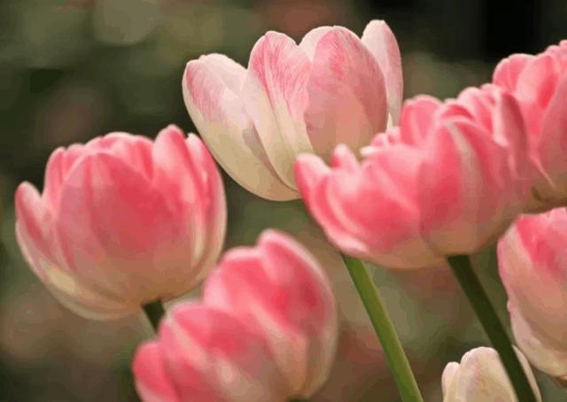 Ci sono più di 3000 varietà di tulipani di 150 specie diverse nel mondo