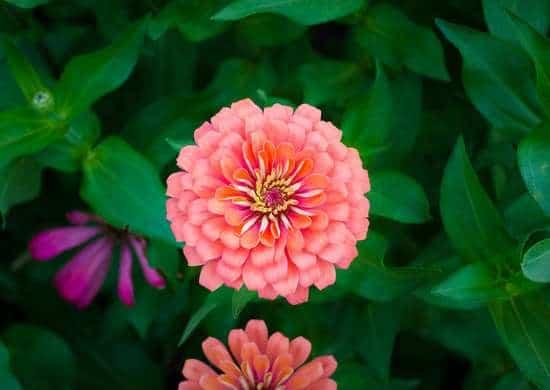 Le zinnie attirano gli impollinatori in giardino dal momento in cui fioriscono fino a quando non scompaiono con il primo gelo