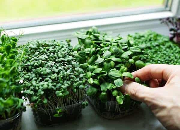 microcolture, facili da coltivare e a prova di spazio