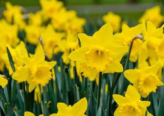 i narcisi sono sorprendentemente facili da coltivare. I bulbi si piantano in autunno e poi si aspetta fino a quando i fiori non fioriscono nel tardo inverno o all'inizio della primavera