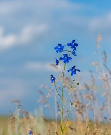 delphinium grandiflorum per portare un tocco di colore in giardino a primavera