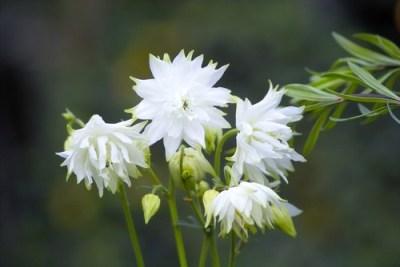 aquilegia vulgaris bianca da piantare a primavera