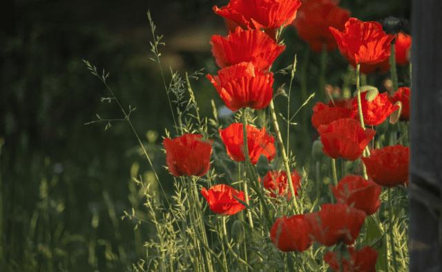 Papaveri in fiore durante l'estate