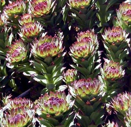 Semprevivo Maggiore, una pianta grassa che resiste al freddo