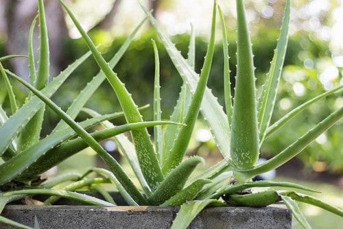 L'aloe vera, una pianta perfetta da regalare a Natale.