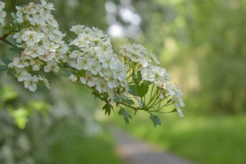 Il biancospino, una pianta perfetta da regalare a Natale.