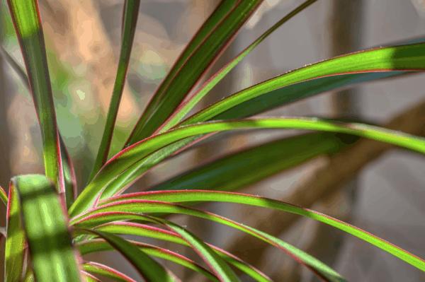 Dracena, una pianta perfetta per l'autunno.
