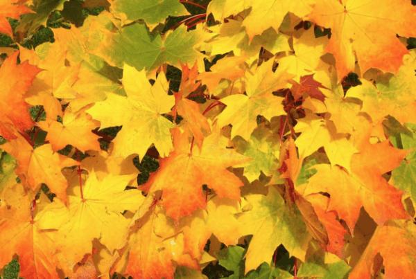 Perché le foglie diventano gialle