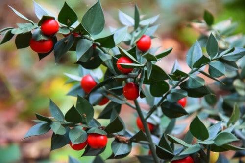 Il pungitopo, una pianta perfetta da regalare a Natale