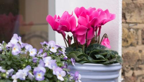 Ciclamino in vaso, ideale per stare su balconi e terrazzi durante la stagione invernale
