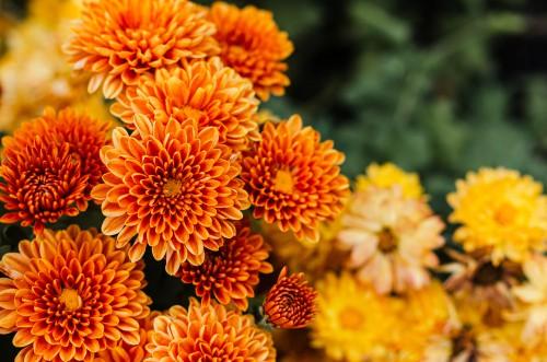 crisantemi perfetti per stare al freddo