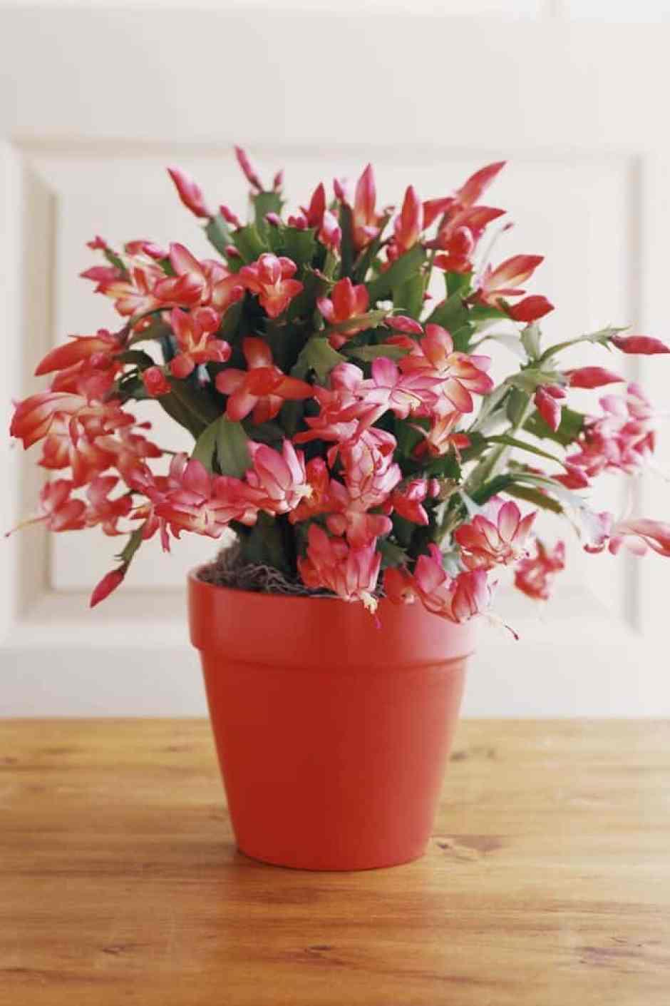 Cactus di Natale, una pianta perfetta per le feste.