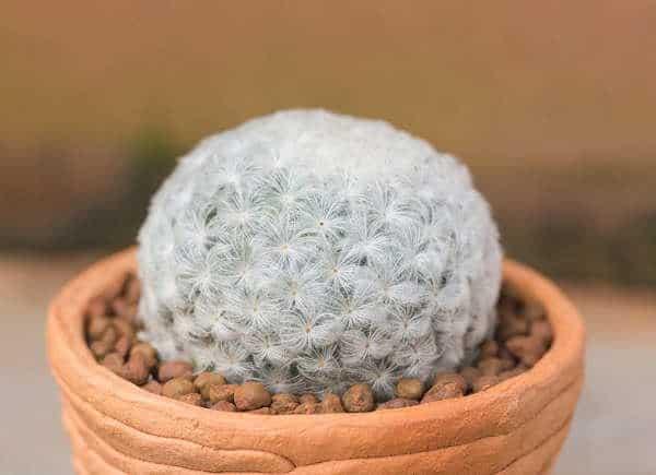Cactus piuma, una pianta facile da coltivare a casa.
