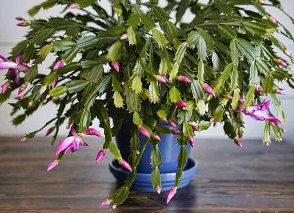 Cactus di Natale, una tipica pianta da regalare per le feste.