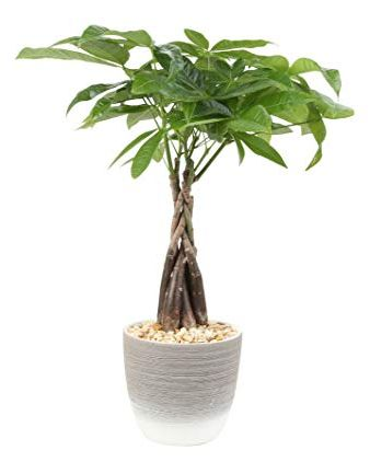Pachira acquatica, una bellissima pianta da interno.