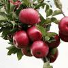accorgimenti per gli alberi d frutto