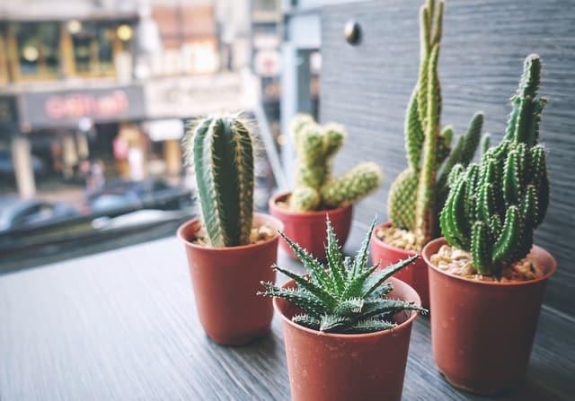 cactus facili da coltivare a casa