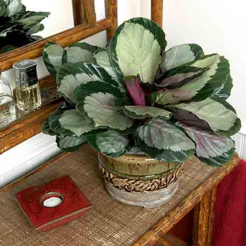 Calathea, una pianta da interno che ha bisogno di poca luce.
