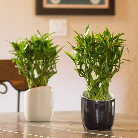 Dracena sanderiana, una pianta di interni che ha bisogno di poca luce