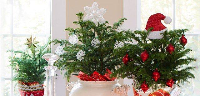 Pino del Norfolk, una pianta che arriva dall'Australia perfetta per Natale.